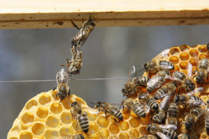 Bees working together on hive